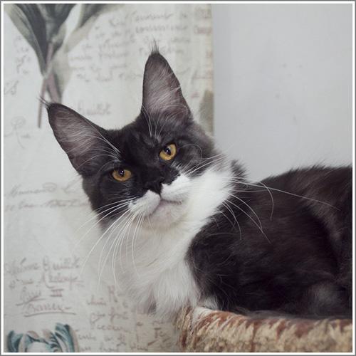 черная дымная с белым кошка Мейн кошка Mainelynx Augustina