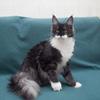 черная дымная с белым кошка Мейн кун Mainelynx Augustina