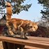красный мраморный кот Мейн кун Latro Danielle Mainelynx